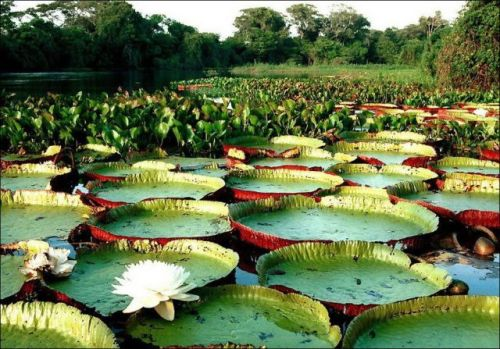 the largest water lily in the world 640 03 Victoria Amazonica, Teratai Terbesar Didunia