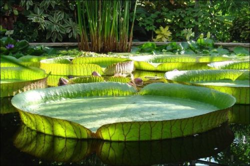 the largest water lily in the world 640 04 Victoria Amazonica, Teratai Terbesar Didunia