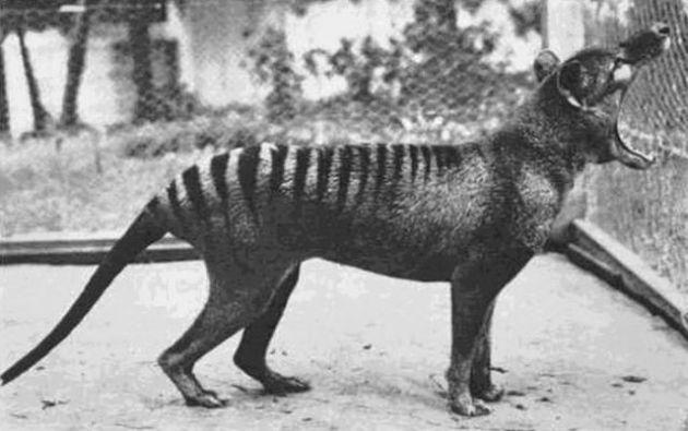 Benjamin, maca tasmania terakhir, di kebun binatang Beaumaris pada tahun 1933